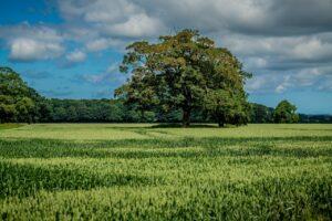Standing crop at East Raynham Farm, Raynham, Norfolk